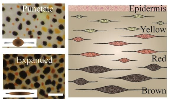 Left: Cuttlefish chromatophores change to an expanded state in response to visual cues. The scale bar measures 1 millimeter. Right: This illustrated cross-section of the skin shows the layering of three types of chromatophores.