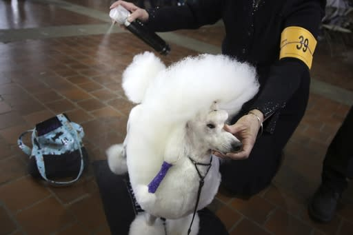 Denise Agre-gill uses a styling spray to groom her toy poodle Andre before they compete in the Best of Breed event at the Westminster Kennel Club dog show on Monday, Feb. 11, 2019, in New York. (AP Photo/Wong Maye-E)
