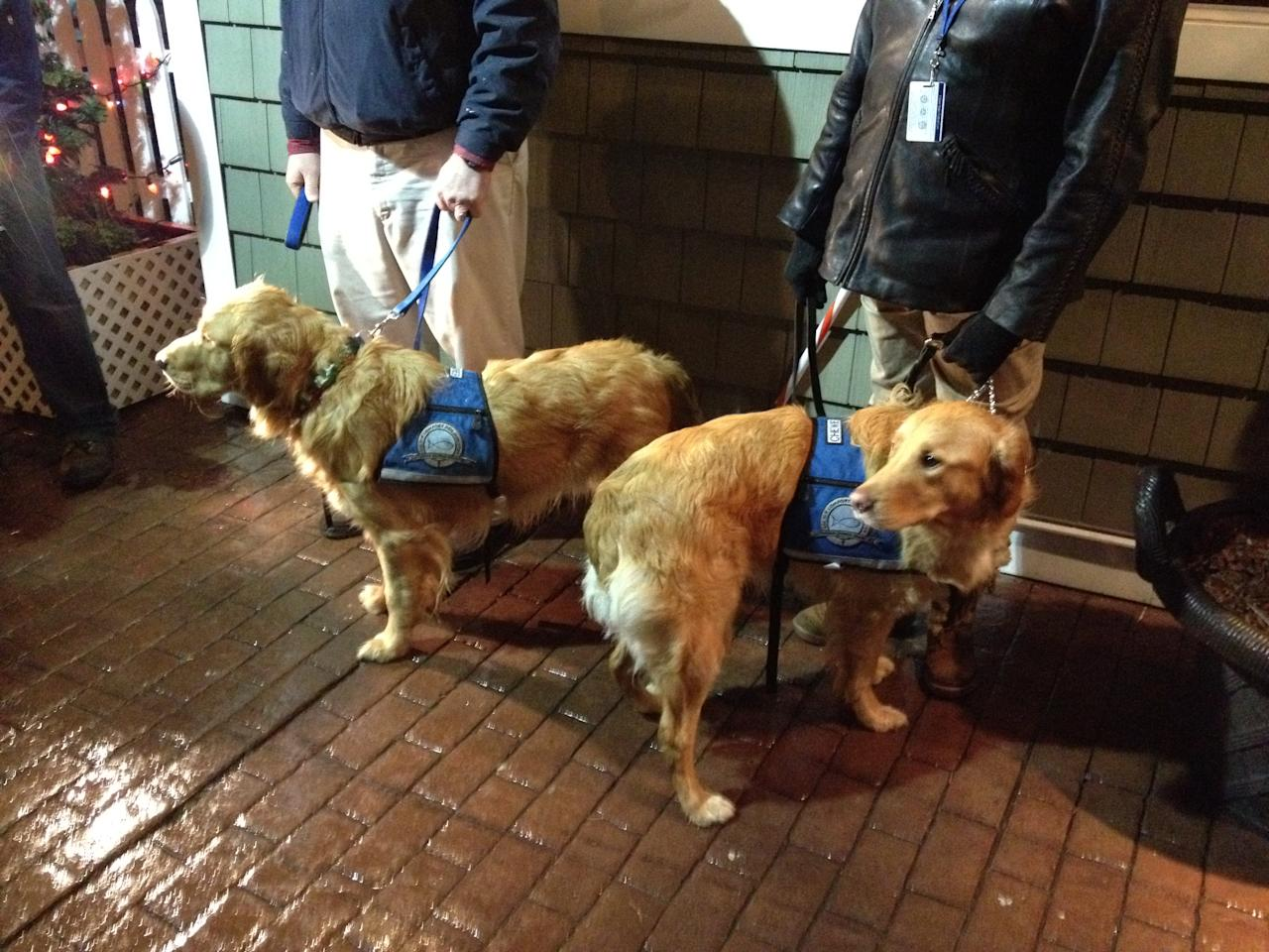 <p>Golden retrievers sent from Illinois to comfort families of the Sandy Hook Elementary School shooting victims seen in Newtown, Conn., Dec. 15, 2012. (Dylan Stableford/Yahoo News) </p>