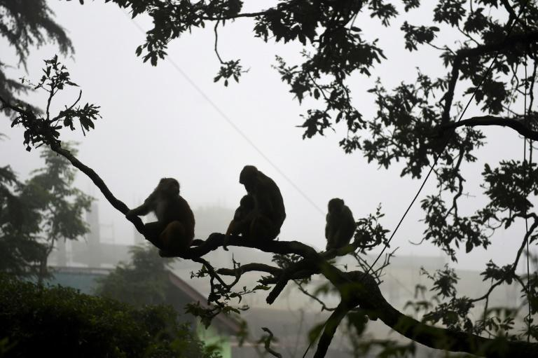 As coronavirus restrictions have eased, troops of monkeys have returned to Shimla to bully inhabitants and snatch grocery bags