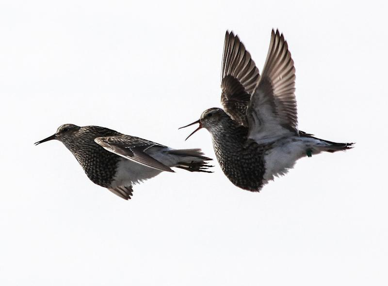 In this image provided by Katharina Kapetanopoulos via the Max Planck Institute for Ornithology, two male pectoral sandpipers in a competitive, territorial display flight in Barrow, Alaska, in June 2012. (Katharina Kapetanopoulos/Max Planck Institute for Ornithology via AP)