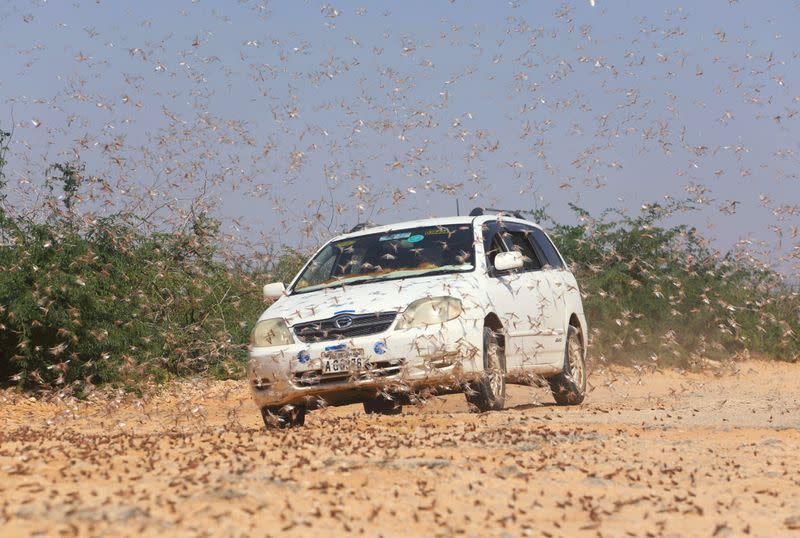 FILE PHOTO: A motorist drives within desert locusts near a grazing land on the outskirt of Dusamareb in Galmudug region