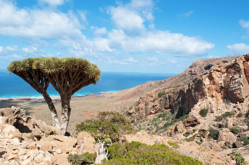 Socotra Island, Yemen, Middle East: Dragon blood trees in the protected area of Homhil Plateau, Gulf of Aden, Arabian Sea, unique biodiversity