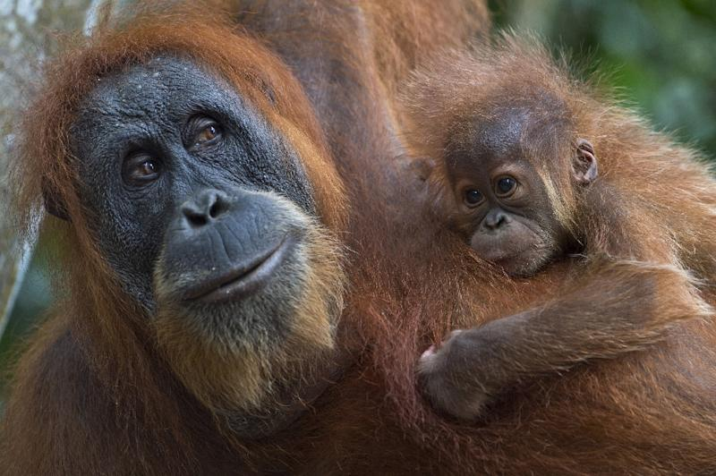 The Sumatran orangutan is a critically endangered species with just 7,500 in existence, according to the World Wildlife Fund (AFP Photo/Romeo Gacad)