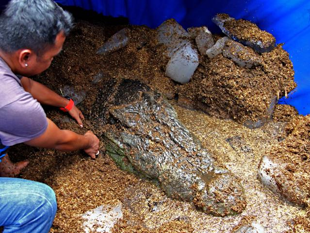"A worker places blocks of ice around ""Lolong,"" the world's largest saltwater crocodile in captivity according to the Guinness World Records, as they wait for its autopsy Monday Feb. 11, 2013 at Bunawan township, Agusan Del Sur province in southern Philippines. The crocodile, measuring 20.24 feet (6.17 meters) and weighing more than a ton, died Sunday Feb. 10, 2013, 17 months after its capture by crocodile farm staff and some residents of this township. The southern Philippine town plans to hold funeral rites for the world's largest saltwater crocodile and then preserve its remains in a museum to keep tourists coming and prevent their community from slipping back into obscurity, the town's mayor said Monday. (AP Photo/Erwin Mascarinas)"