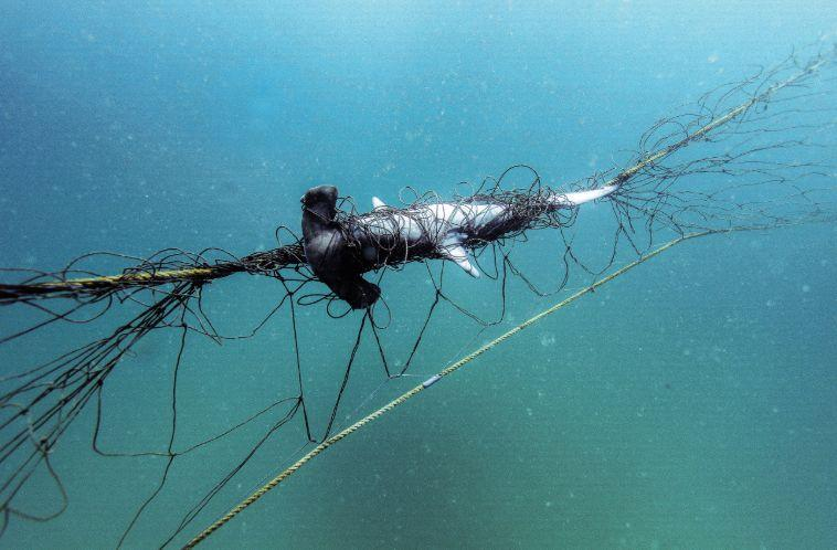 Sharks were found trapped in nets located off Sydney's Palm Beach. Source: Humane Society International Australia