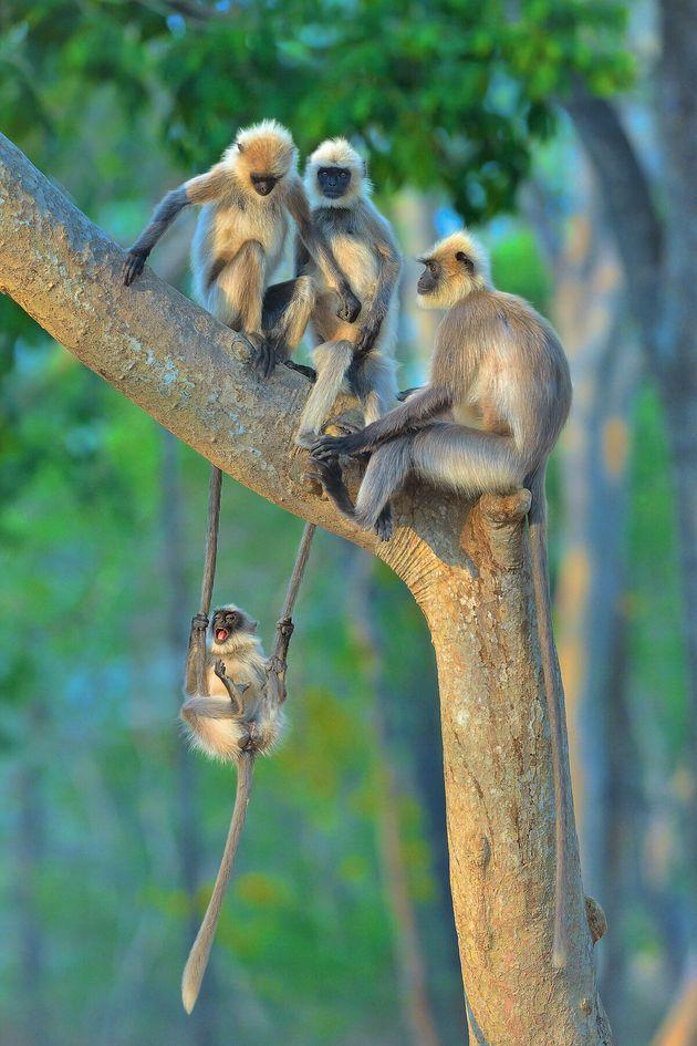 """""""Fun For All Ages"""" features langurs in Kabini, India."""