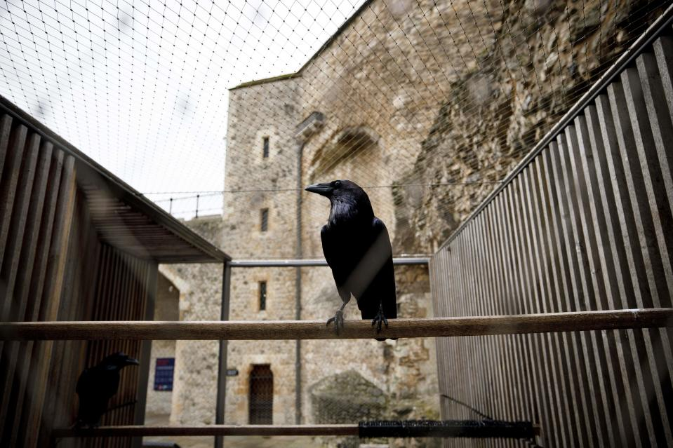 A raven perches in a cage at the Tower of London in central London on October 12, 2020. / Credit: Photo by TOLGA AKMEN/AFP via Getty Images