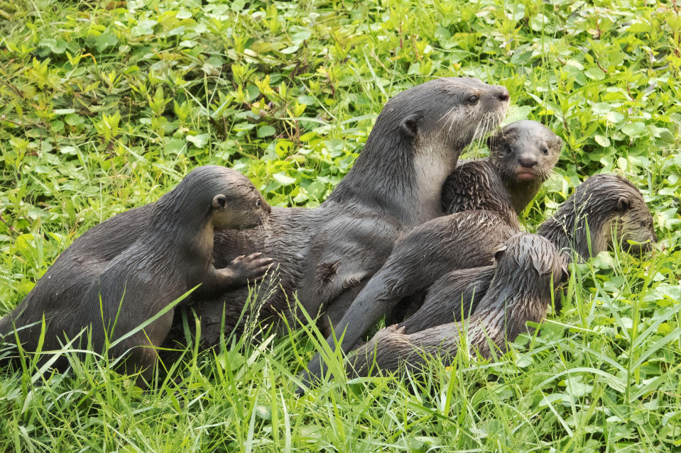 SINGAPORE, Nov. 12, 2019  -- Young smooth-coated otter pups and their mother of Bishan family romp on the riverbank in Singapore's inland waters on Nov 12, 2019. Bishan family of smooth-coated otters are renown in the world, tracked by otter-watching enthusiasts since 2014, where the first sighting of a pair of male and female otters was recorded in Bishan Park ,hence the name Bishan family. (Photo by Then Chih Wey/Xinhua via Getty) (Xinhua/ via Getty Images)