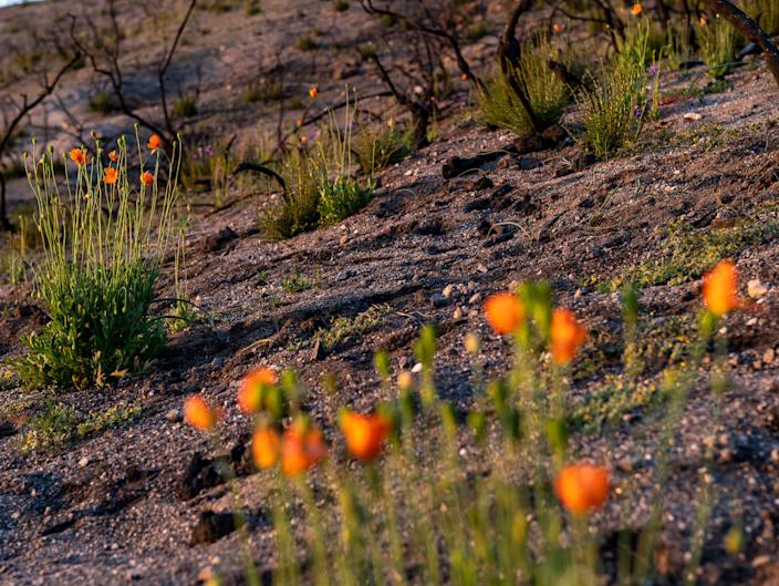 A row of fire poppies are seen in a burn scar area inside Toro Park in Salinas, Calif., on Tuesday, May 18, 2021.