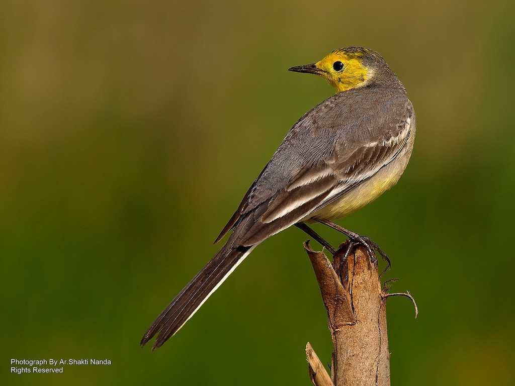 The <strong>Citrine Wagtail</strong> or Yellow-headed Wagtail (<em>Motacilla citreola</em>) is a winter migrant that breeds in north central Asia in summer.