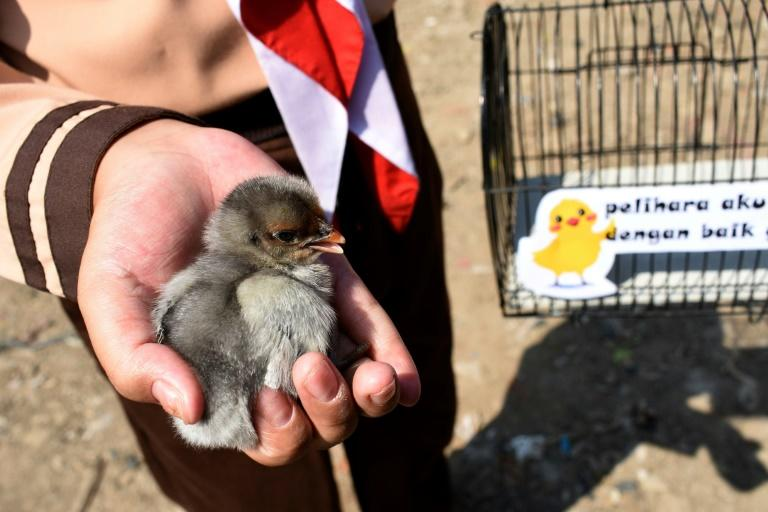 At a ribbon-cutting held Thursday, a dozen chicks in cages were distributed with a sign that read: 'Please take good care of me' (AFP Photo/TIMUR MATAHARI)