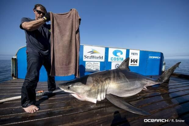 Researchers caught and tagged Helena, a four-metre-long great white, in 2019. She's since found her way to the coast of Newfoundland. (Submitted by Ocearch - image credit)