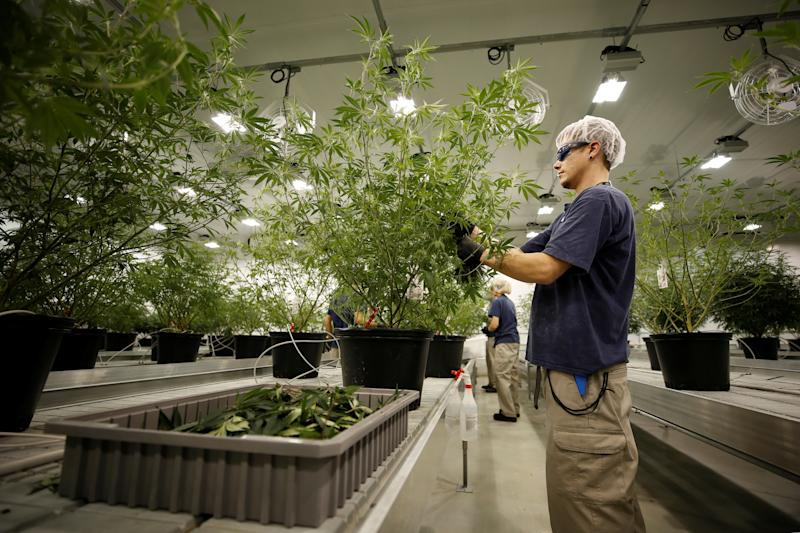 A worker collects cuttings from a marijuana plant at the Canopy Growth Corporation plant in Smiths Falls, Ontario, Canada , January 4, 2018. Image taken January 4, 2018. To match Insight CANADA-MARIJUANA / INNOVATION REUTERS / Chris Wattie