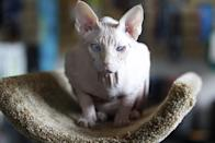 In this March 15, 2012 photo, a four-year-old cream point Sphynx, Moshe Moshi, a hairless cat, belonging to Carol Meir of Takoma Park, Md., sits at The Big Bad Woof, a pet supplies store, in Washington. Meir is managing the cream point sphynx's allergies with a venison and pork diet and daily medication. She figures it cost her about $750 for vets and tests. Medicine is $250 a year. (AP Photo/Charles Dharapak)