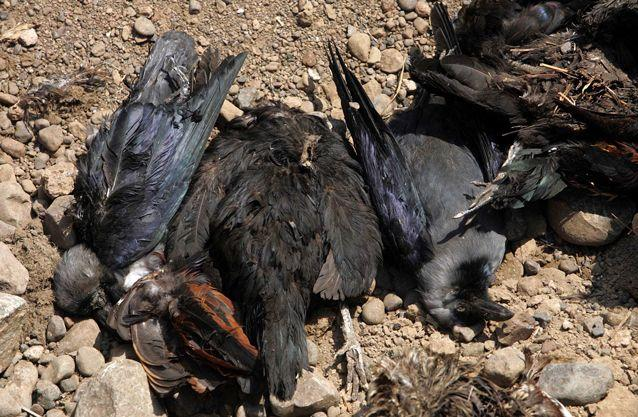 Crow carcasses following a cull in India's North Maharashtra region in February. Source: Getty