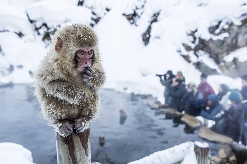 """<p>Don't worry about Japanese snow monkeys: They have incredibly thick fur that is meant to keep them warm in even the most frigid of temperatures. Fun fact: They love to hang out in the <a href=""""https://www.mentalfloss.com/article/63753/11-adorable-facts-about-snow-monkeys"""" rel=""""nofollow noopener"""" target=""""_blank"""" data-ylk=""""slk:hot springs"""" class=""""link rapid-noclick-resp"""">hot springs</a> (don't we all?) </p>"""