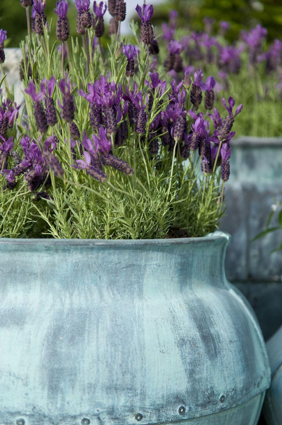 "<p>These hardy plants with silvery foliage and deep purple-blue flowers create a sense of romantic charm. And they smell amazing! Plant these perennials in pretty pots or baskets and place near seating areas so you can run your hands over the flowers to release their fragrance. Lavender needs full sun.</p><p><a class=""link rapid-noclick-resp"" href=""https://www.amazon.com/AMERICAN-PLANT-EXCHANGE-English-Lavender/dp/B083PKNWZ4/ref=sr_1_1_sspa?tag=syn-yahoo-20&ascsubtag=%5Bartid%7C10050.g.30420939%5Bsrc%7Cyahoo-us"" rel=""nofollow noopener"" target=""_blank"" data-ylk=""slk:SHOP LAVENDER"">SHOP LAVENDER</a></p>"