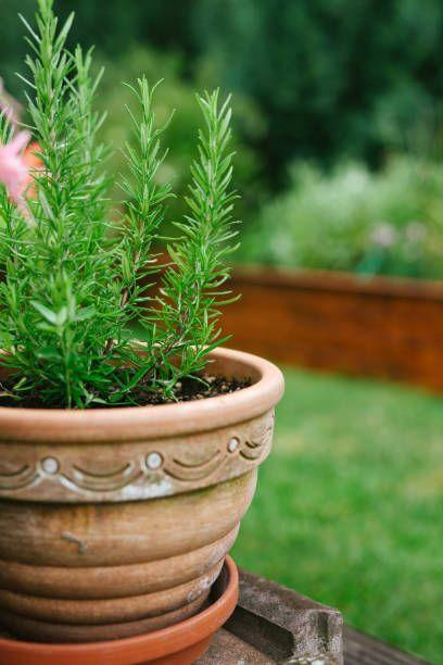 """<p>Rosemary originates in the Mediterranean, so it needs full sun and prefers sandy or rocky soil. It's drought tolerant and perennial in warmer climates. In cold climates, pot it up and bring it indoors for the winter, giving it tons of light. </p><p><strong>How to use:</strong> Make a hair rinse (good for oily hair) by placing one teaspoon dried rosemary or a handful of fresh rosemary in a cup of boiling water; add one tablespoon lemon juice, and let steep for 10 minutes. Strain, let the infusion cool, and pour through freshly shampooed hair. Add it to dishes such as focaccia, sauces, and roasted meats. </p><p><a class=""""link rapid-noclick-resp"""" href=""""https://www.amazon.com/Bonnie-Plants-4P5090-Rosemary-4-Pack/dp/B07B79V7BR/ref=sr_1_1_sspa?tag=syn-yahoo-20&ascsubtag=%5Bartid%7C10063.g.35264165%5Bsrc%7Cyahoo-us"""" rel=""""nofollow noopener"""" target=""""_blank"""" data-ylk=""""slk:SHOP ROSEMARY"""">SHOP ROSEMARY</a></p>"""