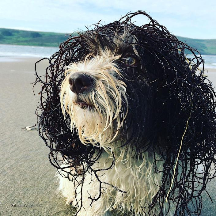 <p>Georgie, a Havanese, has been photographed after taking a refreshing dip in the sea.</p>