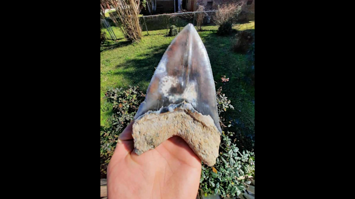 Another angle of the megalodon tooth Matthew Basak found.