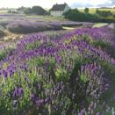 """<p>Set against the backdrop of the Cotswolds countryside, this breathtaking lavender field is the ultimate spot to visit this summer. Owned by a third-generation family, make sure you follow them on Instagram to watch as the lavender blooms. </p><p><a class=""""link rapid-noclick-resp"""" href=""""https://www.cotswoldlavender.co.uk/"""" rel=""""nofollow noopener"""" target=""""_blank"""" data-ylk=""""slk:MORE INFO"""">MORE INFO</a></p><p><a href=""""https://www.instagram.com/p/CCQIxWlJ3nT/"""" rel=""""nofollow noopener"""" target=""""_blank"""" data-ylk=""""slk:See the original post on Instagram"""" class=""""link rapid-noclick-resp"""">See the original post on Instagram</a></p>"""