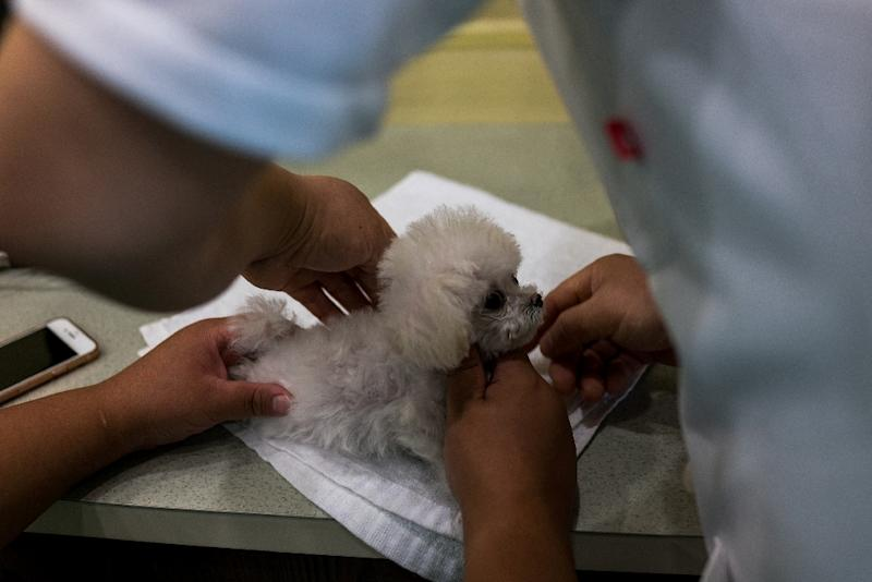 Teacup poodle Mei Mei gets a check up after treatment for a paralysing neck injury suffered three months ago (AFP Photo/CHANDAN KHANNA)