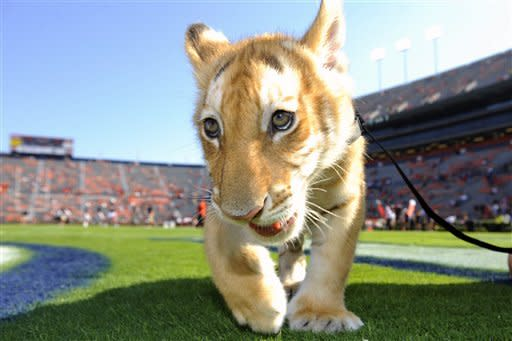 A tiger cub from the Alabama Gulf Coast Zoo makes an appearance before Auburn's college football game against Arkansas on Saturday, Oct. 6, 2012 in Auburn, Ala.(AP Photo/Todd J. Van Emst)
