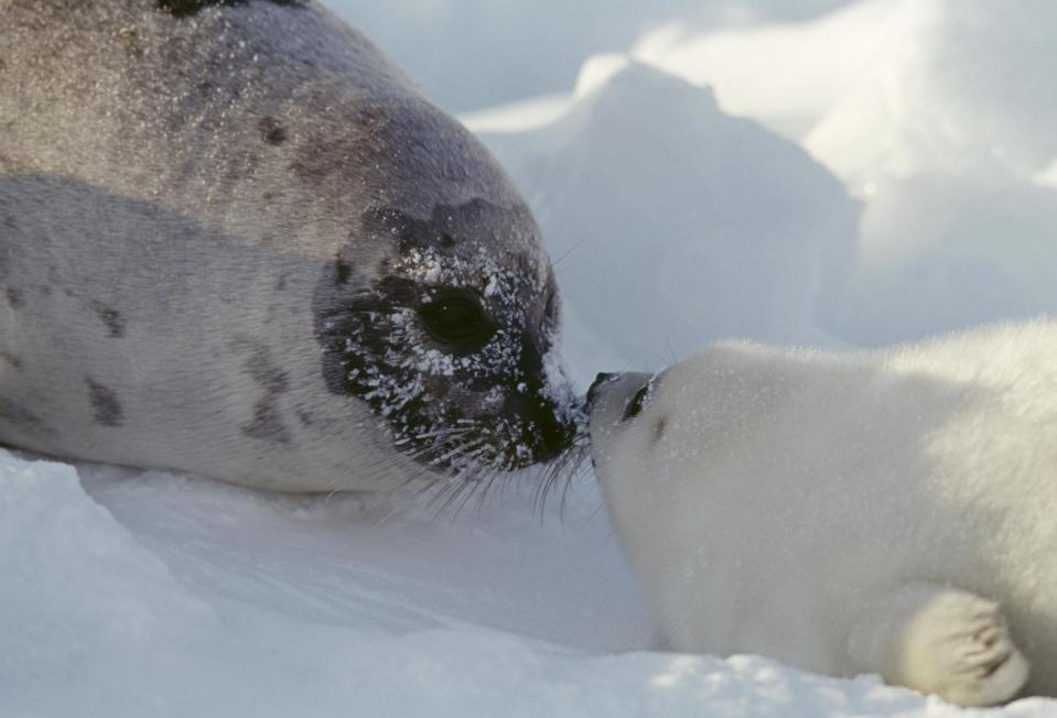 A harp seal seen on the Magdalen Islands, Quebec, Canada. / Credit: C. Dani & I. Jeske / De Agostini Picture Library via Getty Images
