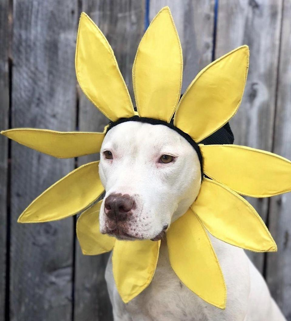"<p>This <a href=""https://www.muttscouts.org/"" rel=""nofollow noopener"" target=""_blank"" data-ylk=""slk:Mutt Scouts"" class=""link rapid-noclick-resp"">Mutt Scouts</a> Pit Bull mix babe is the perfect sunflower.</p>"