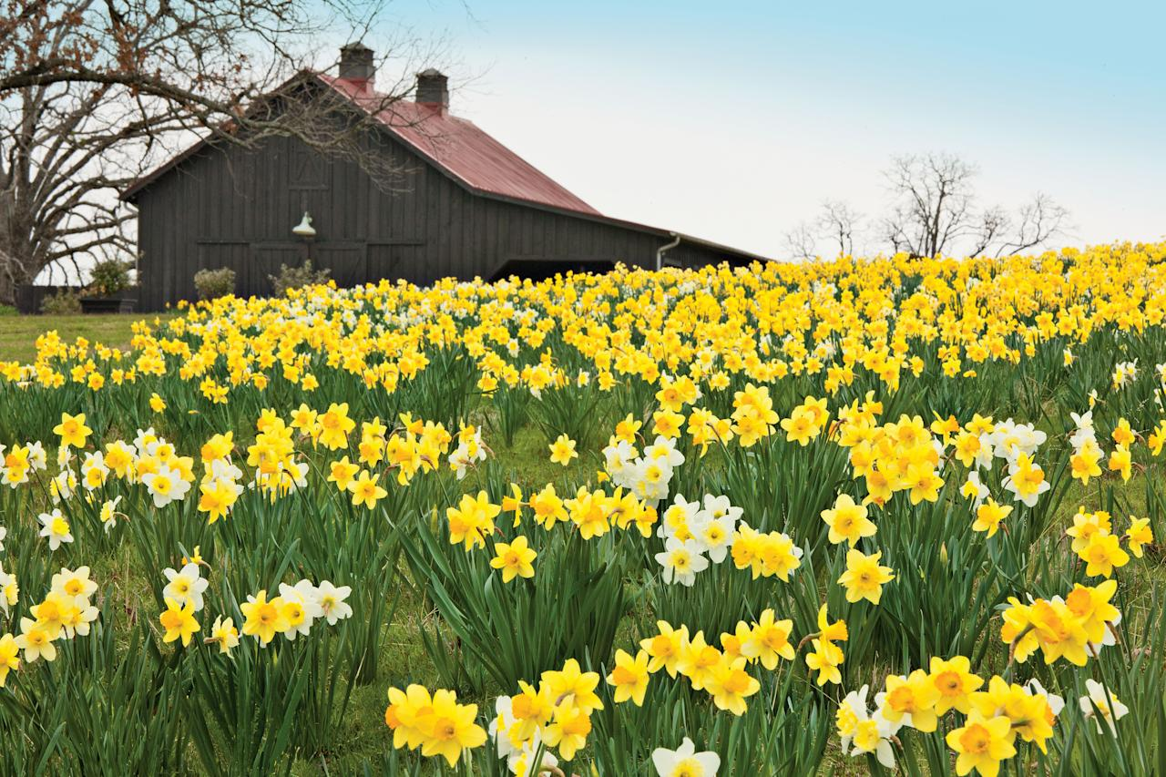 <p>Each spring at Moss Mountain Farm in Roland, Arkansas, the stars come out twice-once at night, like everywhere else, and again in the daytime, when innumerable daffodils illuminate hills and meadows from horizon to horizon.</p>