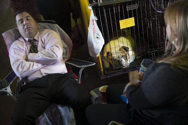 Fonzie, a bulldog, rests in his crate alongside his handler Steven Aikman in the benching area of Pier 92 during the Westminster Kennel Club dog show, Monday, Feb. 10, 2014, in New York. (AP Photo/John Minchillo)