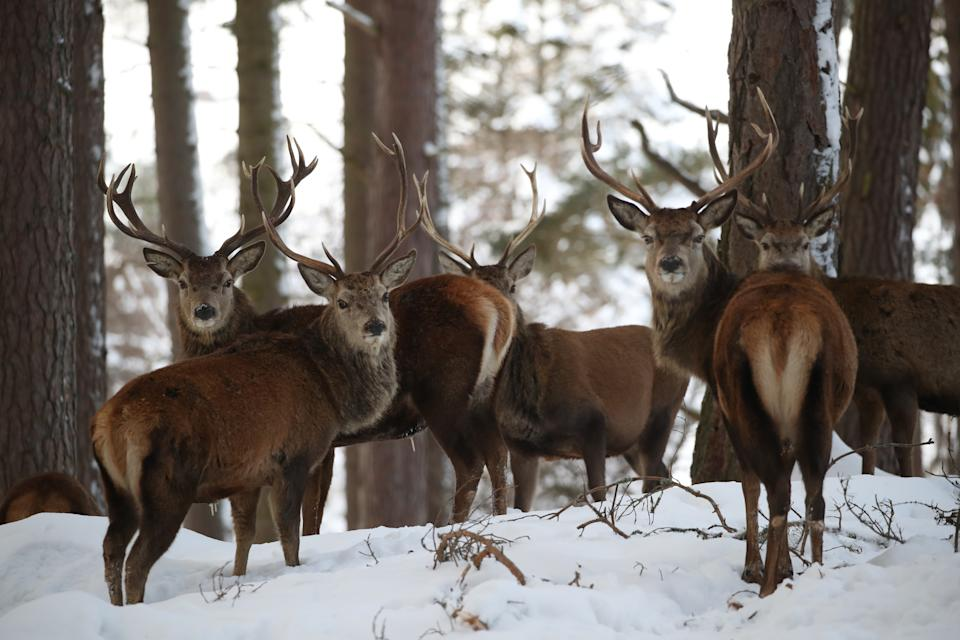 Red deer in Braemar, Aberdeenshire, which had an overnight temperature of minus 23.0C (minus 9.4F). The village, which is near Balmoral Castle, the summer residence of Queen Elizabeth II, recorded the lowest temperature in the UK in more than two decades, following an