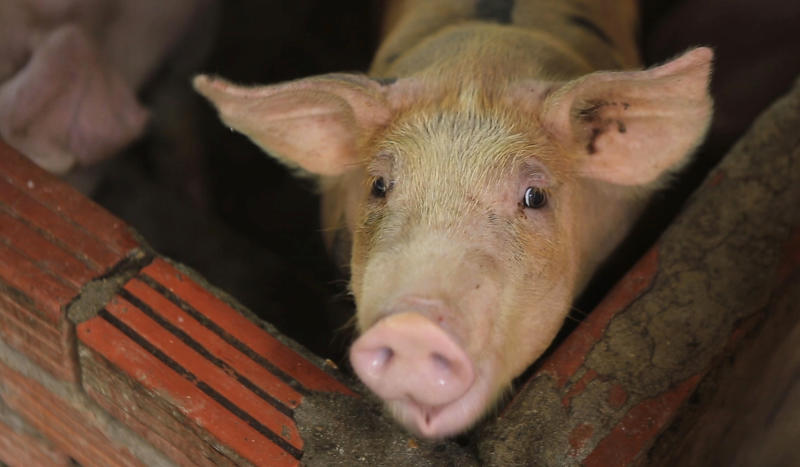 In this May 30, 2019, photo, a pig is seen in a pen in My Duc district, Hanoi, Vietnam. Asian nations are scrambling to contain the spread of the highly contagious African swine fever with Vietnam culling 2.5 million pigs and China reporting more than a million dead in an unprecedentedly huge epidemic governments fear have gone out of control. (AP Photo/Hieu Dinh)