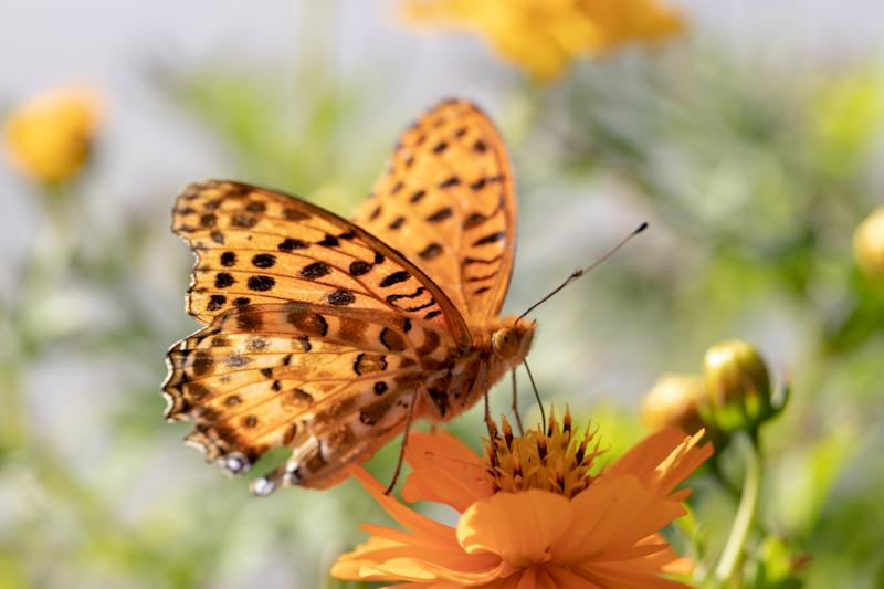 Mary gold and butterfly (high brown fritillary), Funabashi-city, Chiba prefecture, Japan