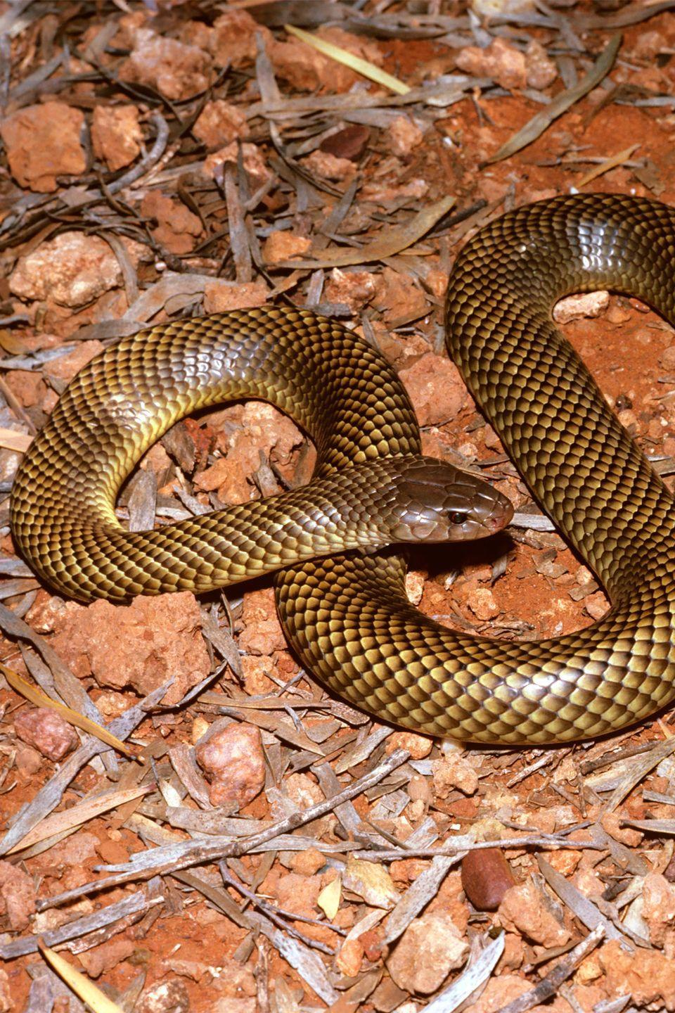 <p>You've likely seen videos of scientists squeezing snakes' venom into glass beakers. According to researchers, the snake that contains the most venom in volume is the King Brown, which can provide 1.3 grams of dry venom from a single milking.</p>
