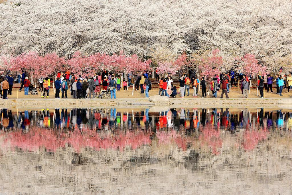 <p>People enjoy cherry blossom at Yuyuantan Park in Beijing, China. Yuyuantan Park holds the 30th cherry blossom festival in Beijing. (Qianlong.com/VCG via Getty Images) </p>