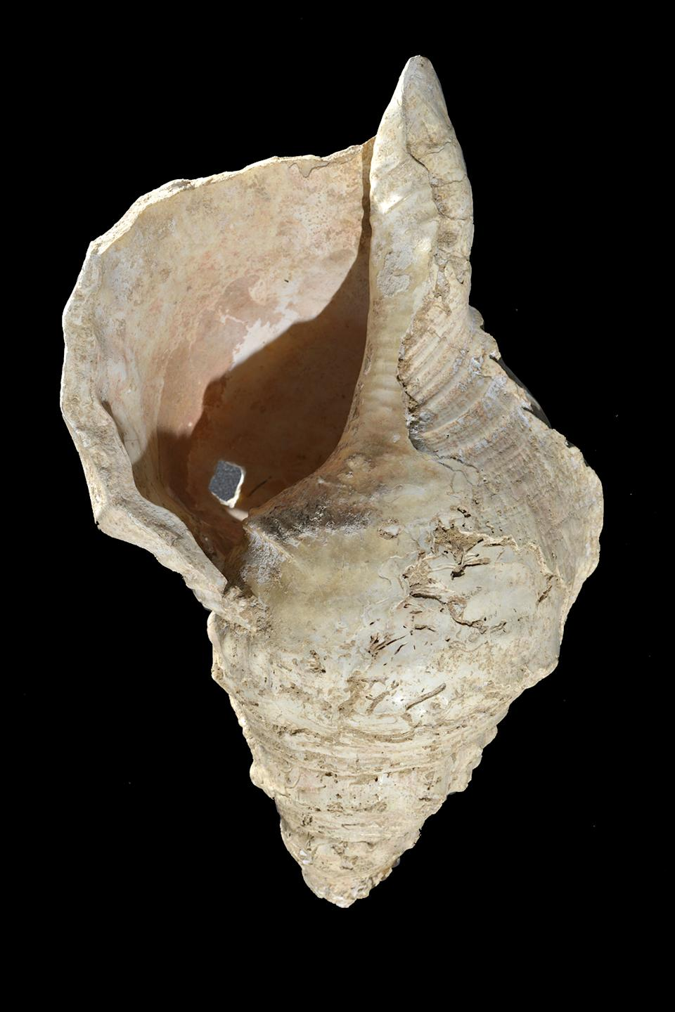 The Marsoulas Conch Shell
