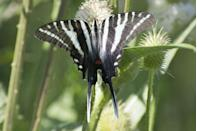 <p><strong> Zebra Swallowtail </strong></p><p>Tennessee is either entirely filled with bugs, or a super indecisive state. They've got two official state insects (the Common Eastern Firefly and the 7-Spotted Ladybug), a state agricultural insect (the European honey bee) and a state butterfly (Zebra Swallowtail). Pick a bug, Tennessee! <br></p>