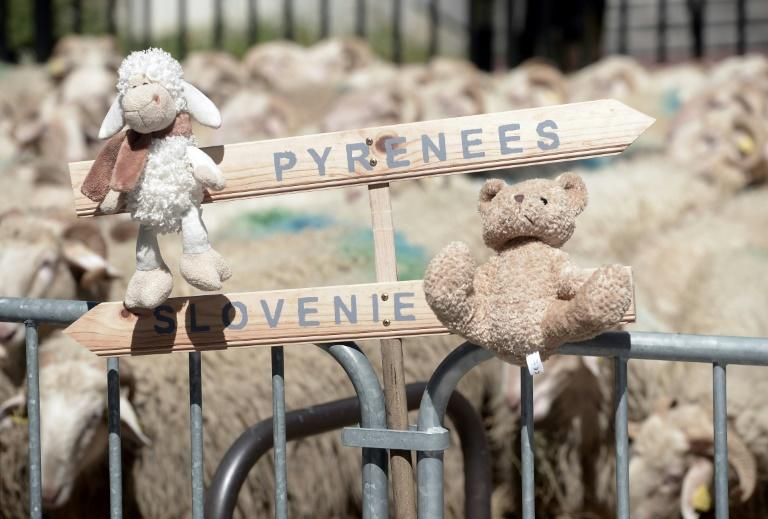 French shepherds have held a number of protests over plans to bring bears to the French Pyrenees from Slovenia, with the demonstrations generally featuring teddy bears