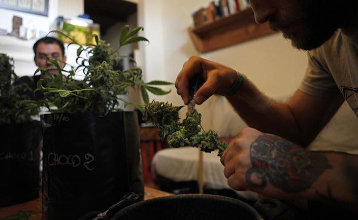 Joaquin Fonseca, the president of a cannabis club and owner of a grow-shop harvests a cannabis plant in Montevideo, on December 10, 2014 (AFP Photo/Nicolas Garcia)