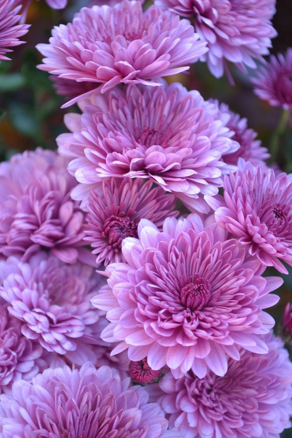 """<p>It may be tricky to spell, but the <a href=""""https://www.goodhousekeeping.com/home/gardening/a20705668/growing-mums/"""" rel=""""nofollow noopener"""" target=""""_blank"""" data-ylk=""""slk:chrysanthemum"""" class=""""link rapid-noclick-resp"""">chrysanthemum</a> has a simple message: honesty. They also look lovely as part of a fall bouquet and because they can withstand cool temperatures, often appear in autumn landscaping. </p>"""