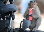 A monkey drinks a juice box on a hot summer day at Guindy Children's Park in Chennai on June 10, 2019. (Photo by ARUN SANKAR / AFP) (Photo credit should read ARUN SANKAR/AFP/Getty Images)