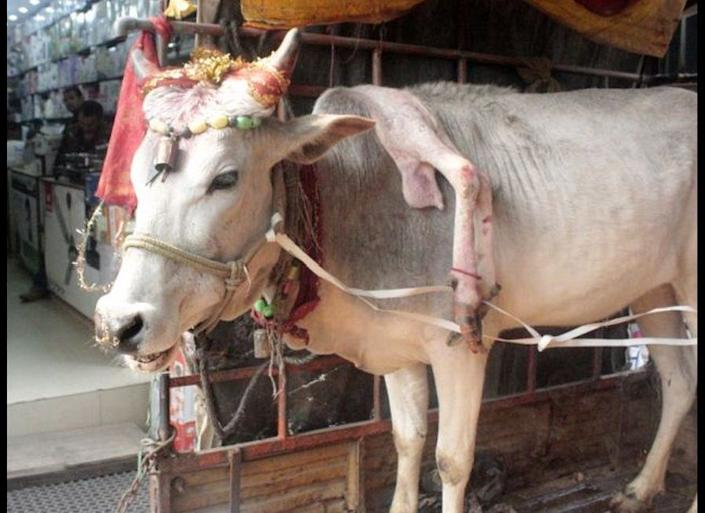 """This five-legged cow's owner, Laxman Bhosale, said the cow """"holds the essence of Hindu religion"""" and touching its fifth leg will help """"fulfill all your wishes,"""" BBC reports.    Now, the holy cow is on tour in India. Newly released photos show it decorated in beads and fancy fabric, hanging out in the back of a fancy trailer, according to the Daily Mail. Her fifth leg protrudes from her shoulder and neck area.    <a href=""""http://www.huffingtonpost.com/2014/02/24/five-legged-cow-india-fulfill-all-your-wishes_n_4848544.html?1393273307"""" target=""""_hplink"""">READ MORE</a>"""