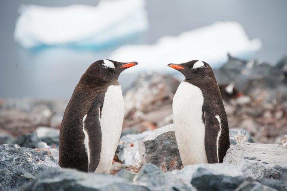 """Norway once <a href=""""http://www.nbcnews.com/id/26219632/ns/world_news-weird_news/t/king-penguin-receives-norwegian-knighthood/#.XS6FvehKiM-"""" rel=""""nofollow noopener"""" target=""""_blank"""" data-ylk=""""slk:made a king penguin a knight"""" class=""""link rapid-noclick-resp"""">made a king penguin a knight</a>. In 1972, lieutenant<strong> Nils Egelien</strong> chose a penguin living at Scotland's Edinburgh Zoo to be the mascot of the King's Guard. Deemed Nils Olav, the bird was followed by a second penguin who took over the name and rank before a third bird came onto the scene and in 2005 was promoted from honorable regimental sergeant major to honorary colonel-in-chief."""
