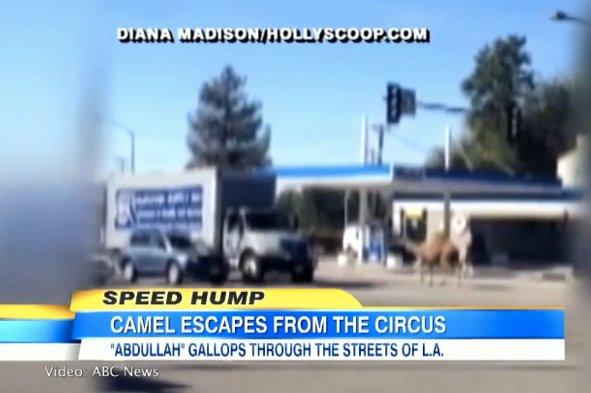 Runaway circus camel causes travel chaos in LA