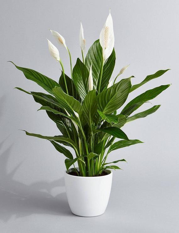 <p>Not only is this <span>Peace Lily</span> ($24) hard to miss, but it also helps purify the air. </p>