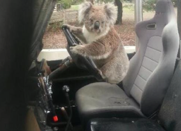 Wild koala spotted  'trying to drive' family car