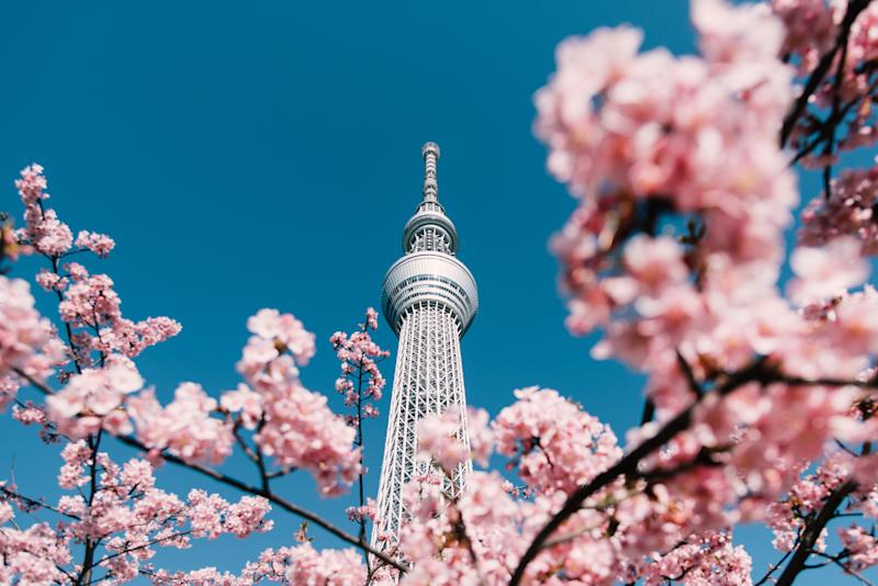 Cherry Blossom and Sakura with Tokyo Sky Tree in Japan.