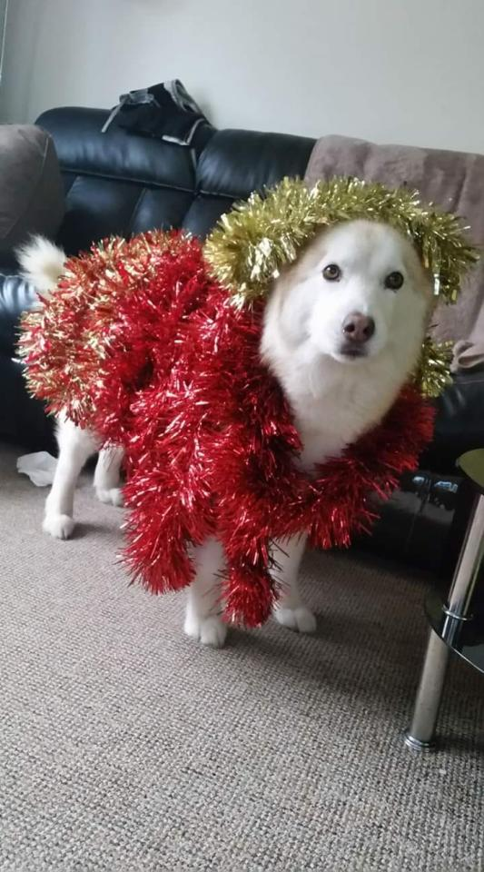 <p>This husky almost resembles a Christmas tree with his tinsel costume (Picture: Photobox/Facebook) </p>